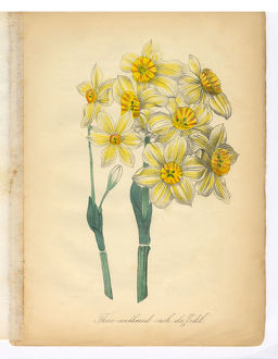 Daffodil, Narcissus, Victorian Botanical Illustration