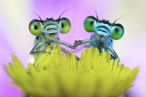 Two damselflies on wild flower