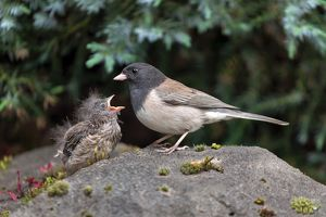Dark-eye Junco Mother and Chick