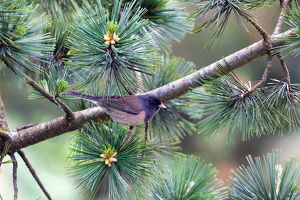 Dark-eyed Junco on a tree Branch