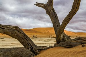 Dead camelthorn tree in Deadvlei, Namibia