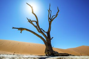 Deadvlei pan and dunes, estimated 900 year old dead camel thorn trees (Acacia erioloba)