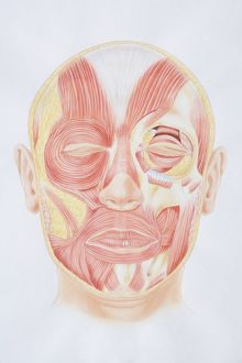 Diagram of facial muscles, front view