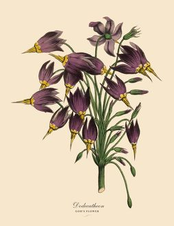 Dodecatheon or Goda€™s Flower Plant, Victorian Botanical Illustration