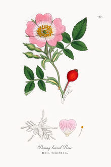 Downey-leaved Rose, Rosa tomentosa, Victorian Botanical Illustration, 1863