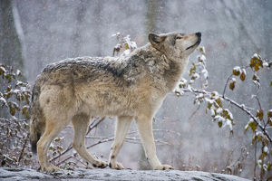 Easter gray wolf In winter