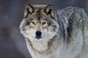 Eastern Gray Wolf