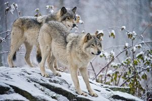Eastern Gray Wolves In Winter