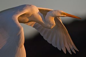 Egret bird at sunset