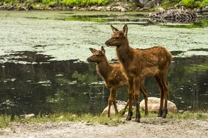 Two Elk Fawns