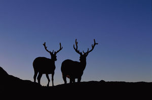 ELKS IN SILHOUETTE, ROCKY MOUNTAIN NATIONAL PARK