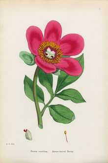 Entire-leaved Peony, Paeonia corallina, Victorian Botanical Illustration, 1863