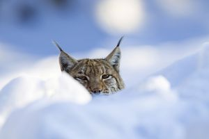 European lynx (Felis lynx, Lynx lynx) in the snow, Bavarian Forest National Park