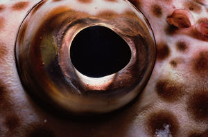 Eye of Brownspotted Grouper