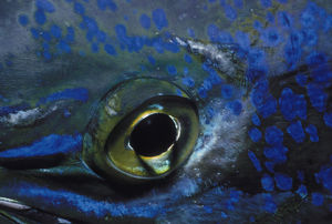 Eye of Dolphinfish