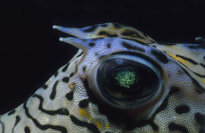 Eye of Honeycomb Cowfish
