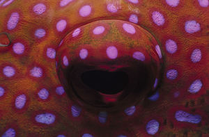 Eye of Lunartail Grouper