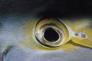 Eye of Purple Surgeonfish