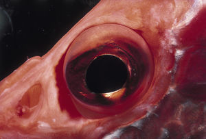 Eye of Squirrel Fish