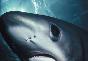 Eye of Thresher Shark