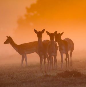 Fallow Deer at Dawn, autumn in Richmond Park