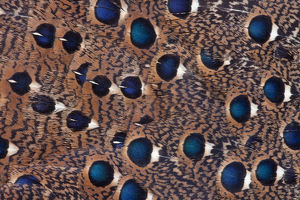 Malay Pacock Pheasant wing feather design