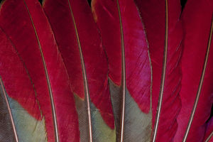 Reds of Turaco Feather Design