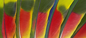 Amazon Parrot Tail Feather design