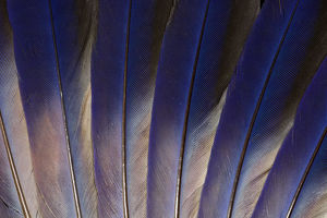 Wing feathers of Roufus crowned Roller
