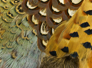 Detail of Pheasant Feathers