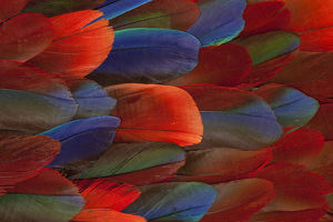 Female Eclectus Parrot Feather Design