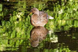 Female Mallard Duck Reflection in Lake