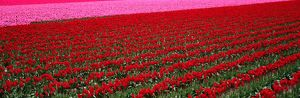 Fields of red, pink tulips (Liliaceae sp.) Washington, USA