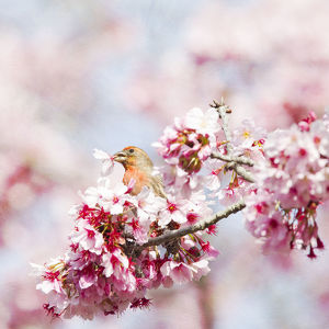 Finch in black plum blossom tree