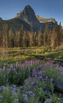 Fireweed in scenic