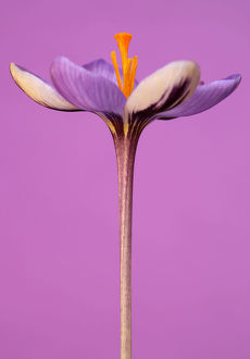 Flamed Crocus