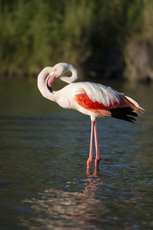 Flamingo -Phoenicopteridae-, standing in water, Camargue, Southern France, France