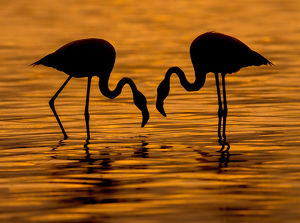 Flamingo Wading Bird