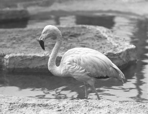 Flamingo wading in water, (B&W)