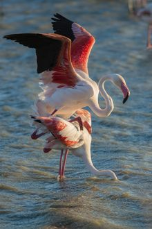 Flamingos -Phoenicopteridae-, mating, Camargue, Southern France, France