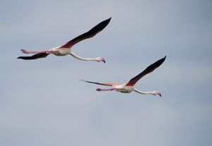Two Flamingos (Phoenicopterus ruber) in flight, Tanzania, Africa