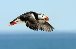 Flight of puffin