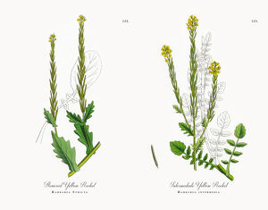 Flowered Yellow Rocket, Barbarea Stricta, Victorian Botanical Illustration, 1863