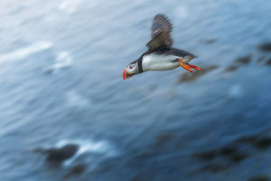 Flying Puffin at Latrabjarg, Iceland