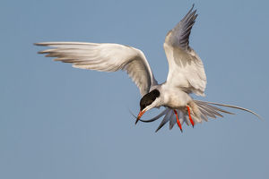 Forster's Tern on flight