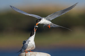 Forster's Tern Food Exchange