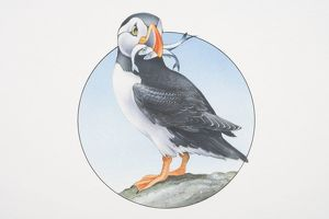 Fratercula arctica, Atlantic Puffin perched on a rock holding fish in its beak.
