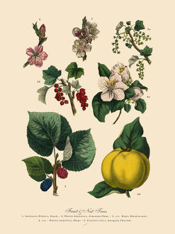 Fruit and Nut Trees of the Garden, Victorian Botanical Illustration