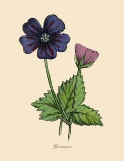 Geranium Plants, Victorian Botanical Illustration