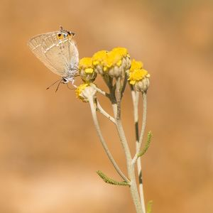 Gerhards Black Hairstreak